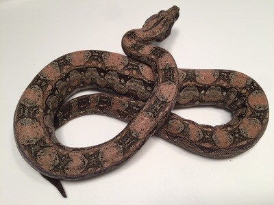 Male, 2018, 4th Gen Maxx Pink Argentine Boa, AR92-BCO-2018-Male-Litter 8
