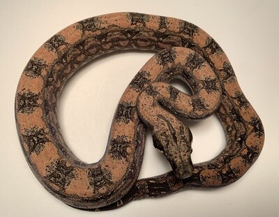 FEMALE, 2020, 4th Gen Maxx Pink Argentine Boa by Ancient Reproductions
