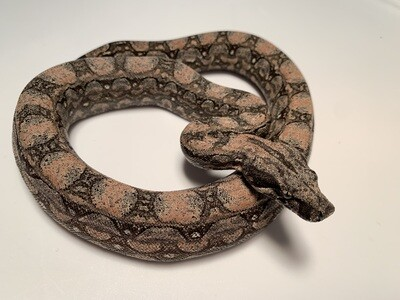 MALE, 2020, 4th Gen Maxx Pink Argentine Boa Produced by Ancient Reproductions
