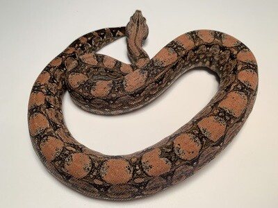 FEMALE, 2020, 4th Gen Maxx Pink Argentine Boa Produced by Ancient Reproductions