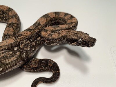 MALE, 2020, 4th Gen Maxx Pink Argentine Boa by Ancient Reproductions, AR115-BCO-2020-MALE-Litter 6 Born 10-12-20