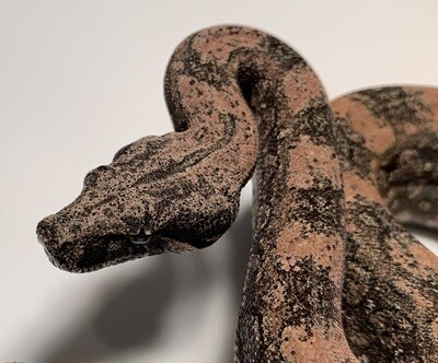 FEMALE, 2020, 4th Gen Maxx Pink Argentine Boa by Ancient Reproductions, AR103-BCO-FEMALE-Litter 6 Born 10-12-20