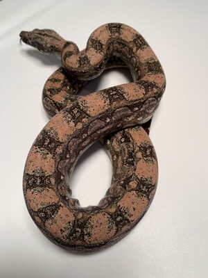 FEMALE, 2020, 4th Gen Maxx Pink Argentine Boa by Ancient Reproductions, AR105-BCO-FEMALE-Litter 6 Born September 2020