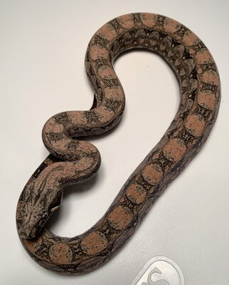 FEMALE, 2020, 4th Gen Maxx Pink Argentine Boa by Ancient Reproductions, AR102-BCO-FEMALE-Litter 6 Born 10-12-20