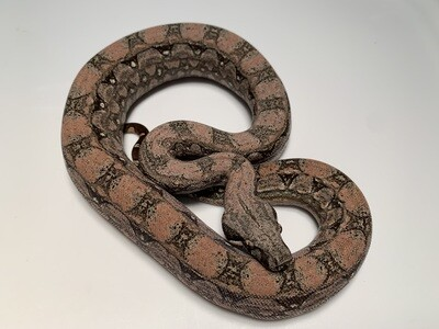 FEMALE, 2020, 4th Gen Maxx Pink Argentine Boa by Ancient Reproductions, AR116-BCO-2020-FEMALE-Born 10-12-20