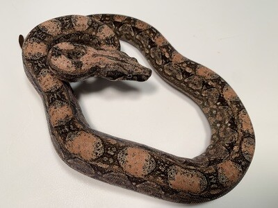 MALE, 2020, 4th Gen Maxx Pink Argentine Boa by Ancient Reproductions, AR22-BCO-MALE-Litter 2 Born 9-14-20