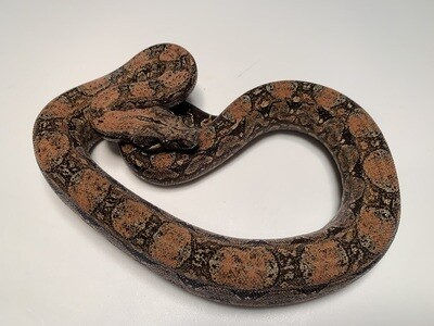 MALE, 2020, 4th Gen Maxx Pink Argentine Boa by Ancient Reproductions, AR25-BCO-MALE-Litter 2 - Born 9-14-20