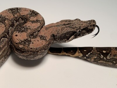 MALE, 2020, 4th Gen Maxx Pink Argentine Boa by Ancient Reproductions, AR26-BCO-2020-MALE-Litter 2 Born 9-14-20