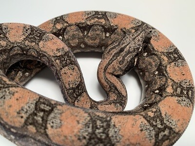 FEMALE, 2020, 4th Gen Maxx Pink Argentine Boa Produced by Ancient Reproductions, AR43-BCO-2020-FEMALE-Litter 4 Born 9-14-20