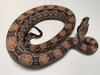 FEMALE, 2020, 4th Gen Maxx Pink Argentine Boa Produced by Ancient Reproductions, AR32-BCO-2020-FEMALE-Litter 3  Born 9-14-20