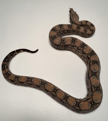 MALE Maxx White Argentine boa by Ancient Reproductions AR72-BCO-FEMALE-2020 - Litter 5 - Born 9-18-20
