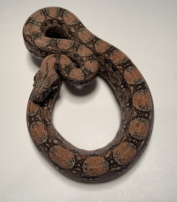 FEMALE Maxx White Argentine boa by Ancient Reproductions AR85-BCO-FEMALE-2020 - Litter 5, Born 9-18-20