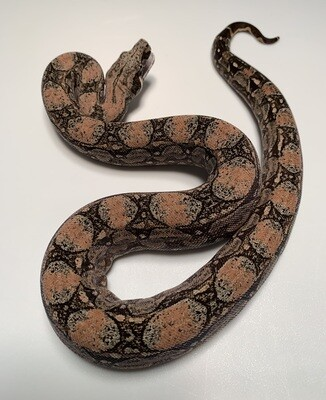 FEMALE Maxx White Argentine boa by Ancient Reproductions AR74-BCO-FEMALE-2020 - Litter 5, Born 9-18-20