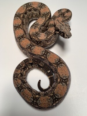 FEMALE Maxx White Argentine boa by Ancient Reproductions AR71-BCO-2020-FEMALE - Litter 5
