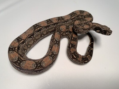 MALE Maxx White Argentine boa by Ancient Reproductions AR93-BCO-2020-FEMALE - Litter 5 - 9-18-20