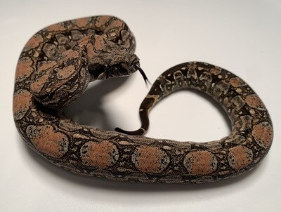 MALE Maxx White Argentine boa by Ancient Reproductions AR92-BCO-2020-MALE - Litter 5, Born 9-18-20