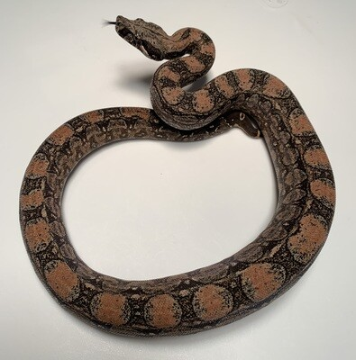 FEMALE Maxx White Argentine boa by Ancient Reproductions AR73-BCO-FEMALE-2020 - Litter 5, Born 9-18-20