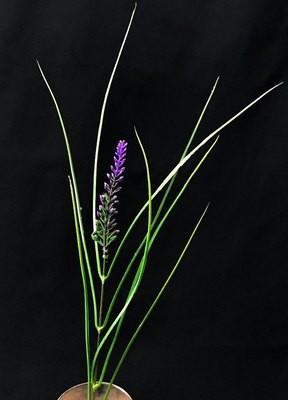 Heinä violetilla tähkällä