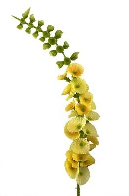 Kotilokukka-kukkapää, keltainen