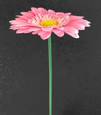 Gerbera vaaleanpunainen