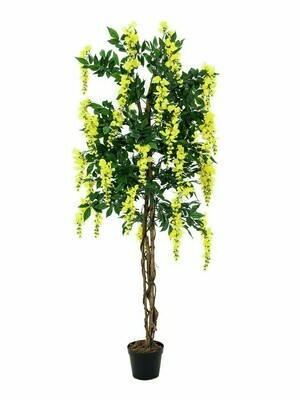 Wisteria (sinisade) tekopuu ruukussa 150cm keltainen
