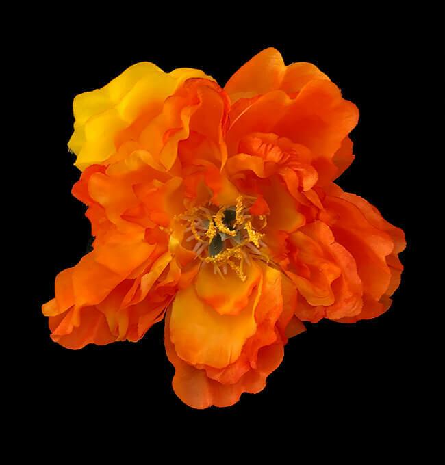 Pioni-kukkapää, oranssi