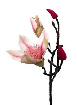 Magnolian kukkaoksa