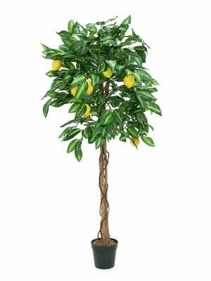 Sitruspuu 180cm