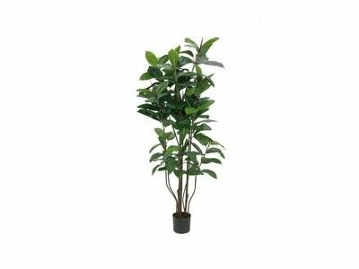 Parakautsupuu (kumipuu) 150cm