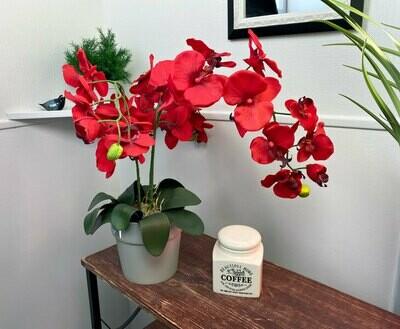 Orkidea ruukussa, punainen