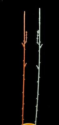 Kukkavarsi, ruskea/hopea