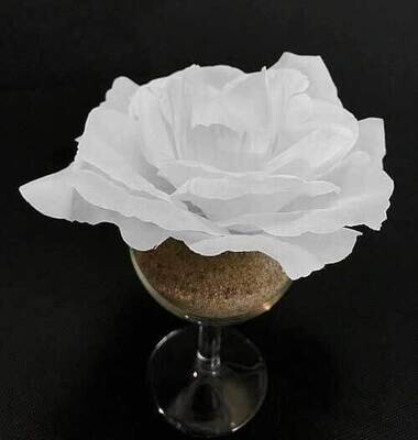 Pensasruusu-kukkapää, valkoinen