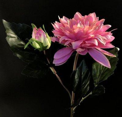 Daalia, vaaleanpunainen