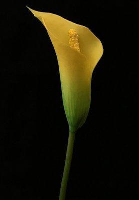Kalla, keltainen