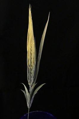 Tekoviljakasvi, keltainen tähkä