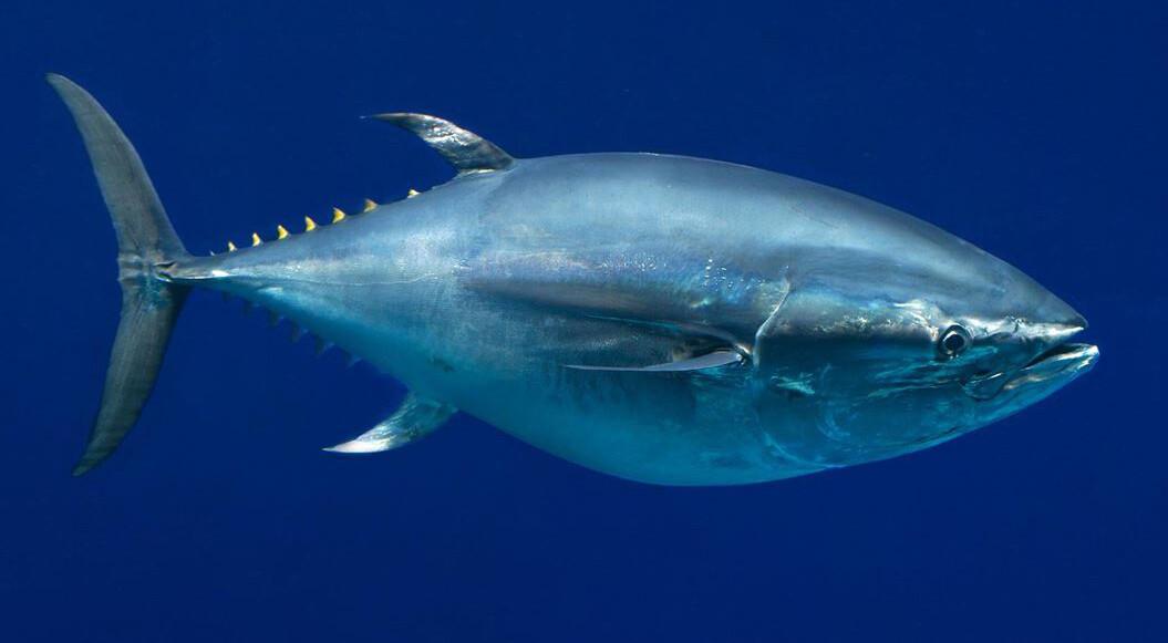 Fresh Tuna Pate
