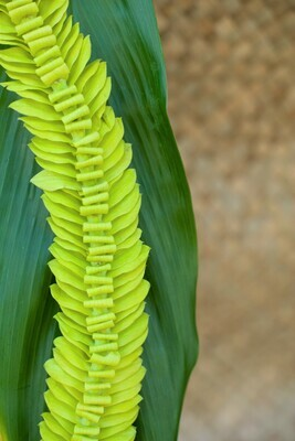 GREEN BUTTERFLY LEI (ORCHID)