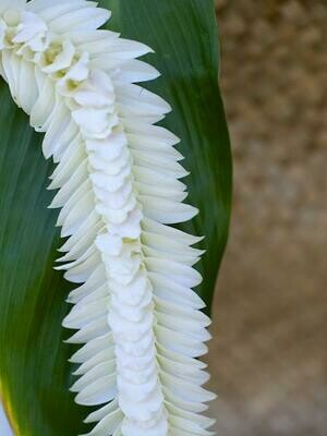 WHITE INDIANA LEI (ORCHID)
