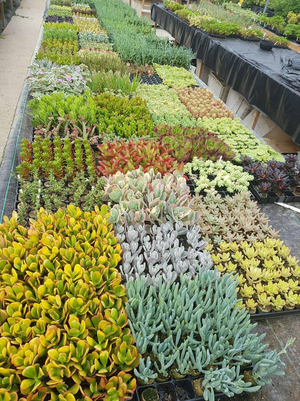 Super Lucky Dip Succulent Pack (6 x 9cm potted plants)