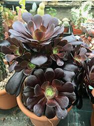 Aeonium Velour (1x 9cm pot)