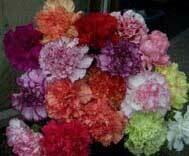 Lucky Dip Carnation Offer (10 plug plants)