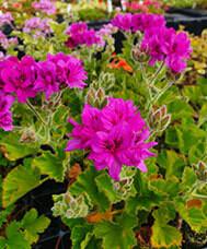 P. Cucullatum Flore Plenum