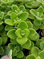 Plectranthus Aromaticus
