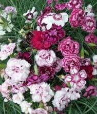 Scented Garden Pinks Offer (12 plants for price of 8)