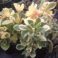 Aichryson Domesticum Variegata