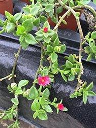 Aptenia Cardifolia