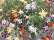 Aquilegia Collection  (10 plants)