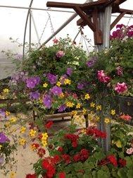 Basket & Urn Collection (8 plants)