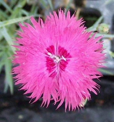 Cockenzie Pink  (1720)