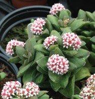 Crassula Brides Bouquet